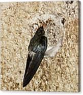 Edible-nest Swiftlet On Nest Canvas Print