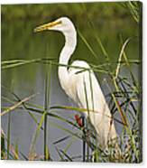 Egret In The Cattails Canvas Print