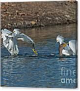 Egrets Robbing A Cormorant Canvas Print
