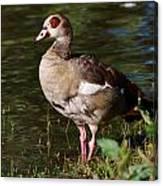 Egyptian Goose Canvas Print