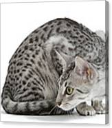 Egyptian Mau Cat Canvas Print