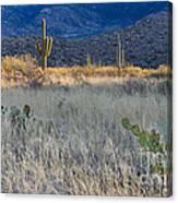 Engelmanns Prickly Pear Cactus Canvas Print