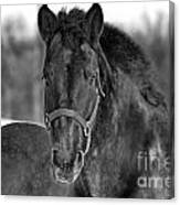 Equine Majesty Canvas Print