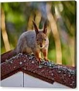 Eurasian Red Squirrel Canvas Print