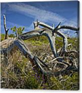 Fallen Dead Torrey Pine Trunk At Torrey Pines State Natural Reserve Canvas Print
