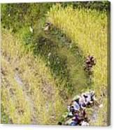 Farmers In Rice Field Canvas Print