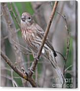 Female House Finch  Canvas Print
