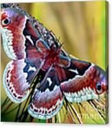 Female Promethea Moth Canvas Print