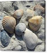 Fernandina Shells  Canvas Print