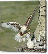 Ferruginous Hawk And Chicks Canvas Print