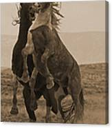 Fighting Wild Stallions Canvas Print