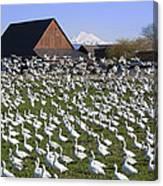 Flocks Of Snow Geese Canvas Print