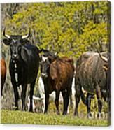 Florida Spanish Cattle Canvas Print