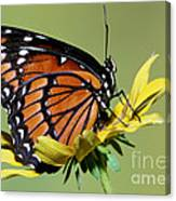 Florida Viceroy Canvas Print