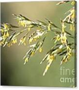 Flowering Brome Grass Canvas Print