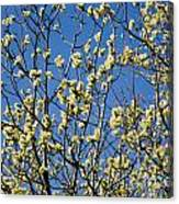 Fluffy Catkins At At Tree Against Blue Sky Canvas Print