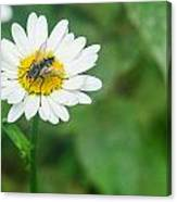 Fly On Daisy 3 Canvas Print