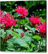 Flying Bee With Bee Balm Flowers Canvas Print