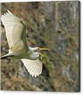 Flying Great Egret Canvas Print