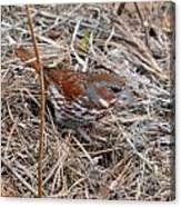 Fox Sparrow 2 Canvas Print