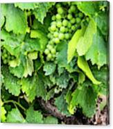 France, Provence, French Vineyard Canvas Print