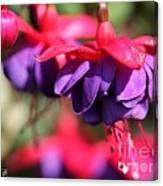 Fuchsia Named Dark Eyes Canvas Print