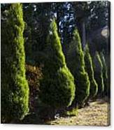Funeral Cypress Trees Canvas Print
