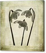 Galanthus Nivalis Flore Pleno Canvas Print