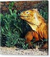Galapagos Land Iguana Canvas Print