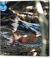 Gator In The Shade Canvas Print