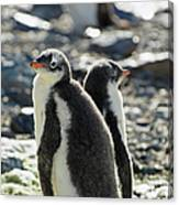 Gentoo Penguins Pygoscelis Papua Canvas Print
