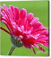 Gerbera Daisy Named Raspberry Picobello Canvas Print