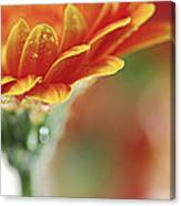 Gerbera Flower Canvas Print