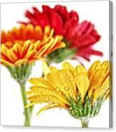Gerbera Flowers Canvas Print