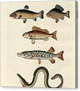 German Sea Fish Canvas Print