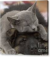 German Shepherd And Chartreux Kitten Canvas Print