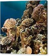 Giant Clam And Tropical Reef In The Red Sea. Canvas Print