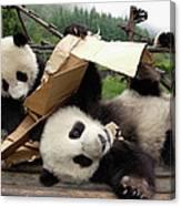 Giant Panda Ailuropoda Melanoleuca Pair Canvas Print