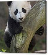 Giant Panda Cub In Tree Canvas Print