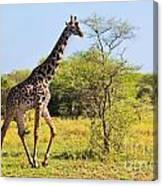 Giraffe On Savanna. Safari In Serengeti Canvas Print