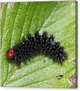 Glanville Fritillary Butterfly Caterpillar - Melitaea Cinxia Canvas Print