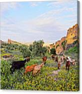 Goats In Fes In Morocco Canvas Print