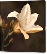 Golden Daylily Canvas Print