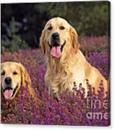 Golden Retriever Dogs In Heather Canvas Print