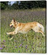 Golden Retriever Running Canvas Print
