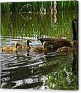 Goslings Canvas Print
