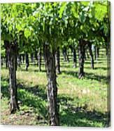 Grape Vines In A Row Canvas Print
