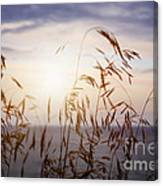 Grass At Sunset Canvas Print