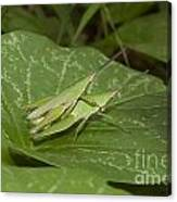 Grasshopper Mating On Grass Leaf Canvas Print