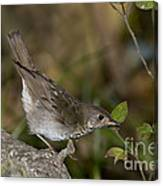 Gray-cheeked Thrush Canvas Print